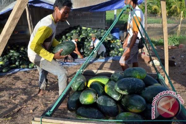 Petani Banyuasin panen semangka