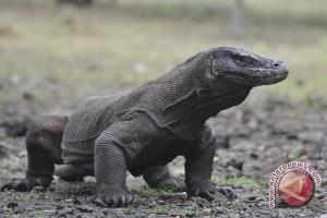 83.712 wisatawan kunjungi Taman Nasional Komodo 2016