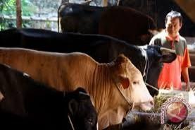 Pedagang hewan kurban di Palembang mulai ramai