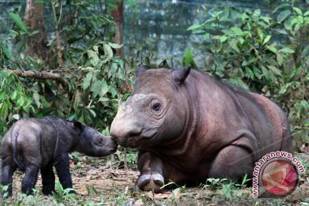 WWF: Tsunami berpotensi punahkan populasi badak jawa