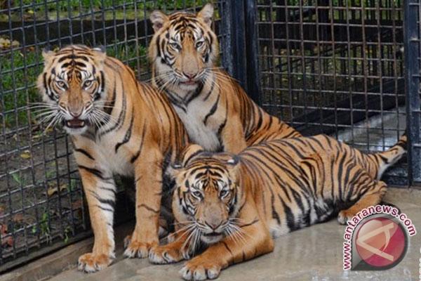 Harimau Sumatera terancam ekstensifikasi perkebunan--pertambangan