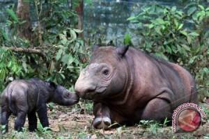 Jelajah badak sumatera tidak aman