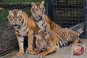 Populasi harimau Sumatera di TN Sembilang nyaris punah