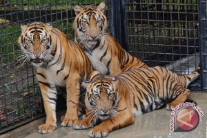 Harimau sumatera primadona di Athena