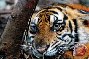 Masyarakat heboh harimau masuk pedesaan