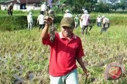 Mukomuko bantu racun basmi tikus perusak padi