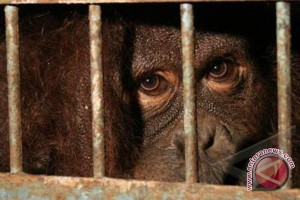20 orangutan ditemukan berkeliaran di Kapuas