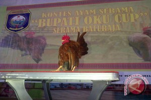 Ratusan ayam Serama di Baturaja  tampil mempesona