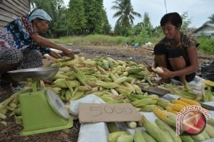 Petani Batumarta ganti tanaman karet dengan jagung