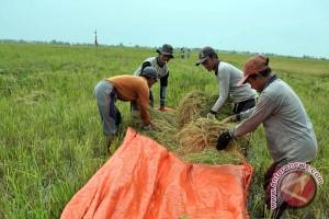 Petani lebak diminta tidak gunakan tengkulak