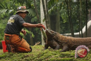 Wisatawan Singapura digigit Komodo di Pulau komodo