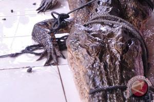 BBKSDA Riau tangkap buaya berkeliaran di Permukiman