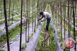 Petani padi beralih menanam sayur