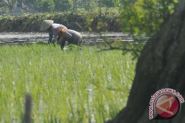 Dua hektare tanaman padi diserang hama weren