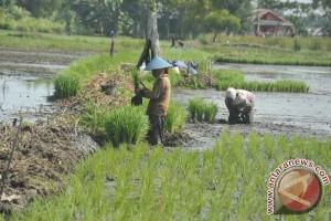 Petani Singkil lakukan penanaman serentak februari 2017