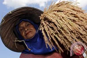Produksi padi Sumsel 2016 bisa lampaui target