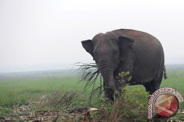 Gajah liar resahkan warga Ogan Komering Ulu