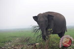 Kerusakan alam picu konflik gajah-manusia