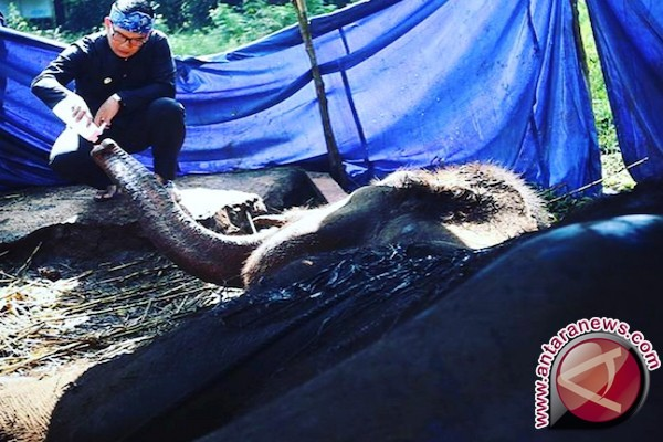 BBKSDA Riau periksa kesehatan gajah terdampak banjir