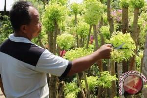 Meraup untung puluhan juta  dari budidaya bonsai anting putri