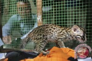 BKSDA amankan kucing hutan peliharaan warga