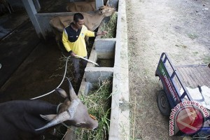 Peternak pilih sapi lokal hindari serangan jembrana