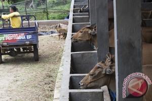 2.000 sapi di Bengkulu akan diasuransikan
