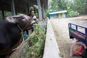 Distan Mukomuko targetkan 1000 sapi melahirkan melalui kawin suntik