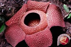 Dua bunga Rafflesia jenis berbeda mekar Bengkulu
