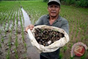 Petani Inhil berantas hama keong secara manual