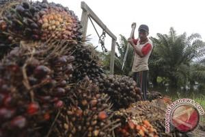 Pedagang pengepul sawit rugi puluhan juta