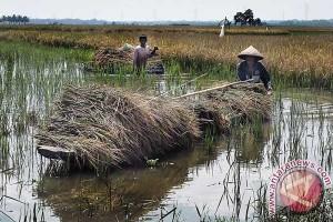 Ratusan hektare sawah gagal panen karena lumpur tambang