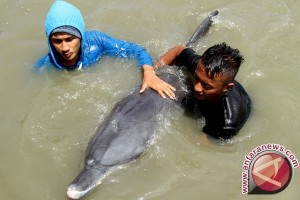 Aksi lumba lumba di larantuka menarik wisatawan