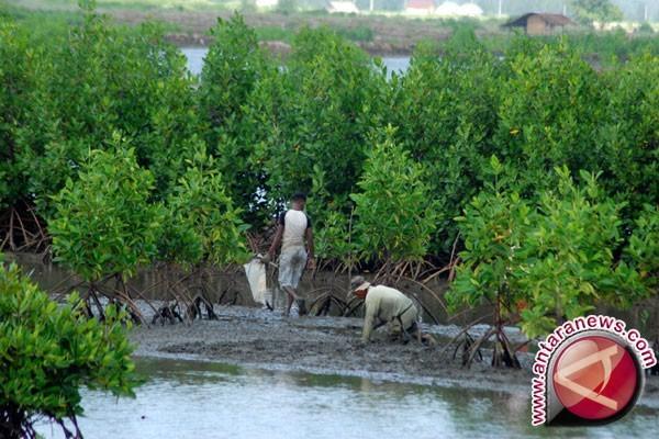 Seribu mangrove ditanam di Pantai Panjang