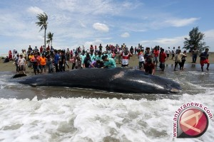 Seekor paus terdampar di pantai Lombok timur