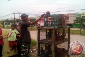 Pelihara burung merpati bisa menguntungkan