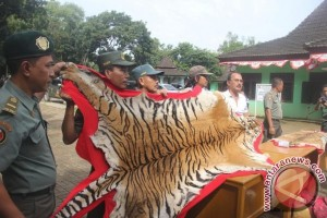 WALHI kecewa BKSDA lamban tangani ancaman populasi harimau