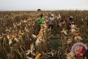 Kementan targetkan tanam jagung satu juta hektar