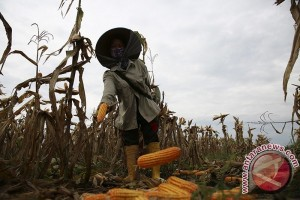 Petani Mukomuko dapat bantuan benih jagung