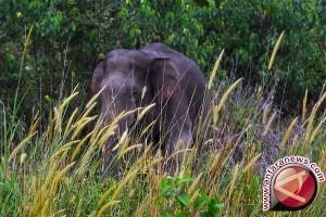 30 gajah berada di SM Padang Sugihan
