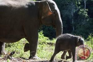 Gajah Sumatera tesso nilo lahirkan bayi jantan