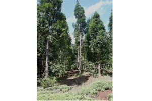 Pohon agathis menjadi ikon wisata alam Penajam