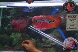 Kompetisi Ikan Louhan