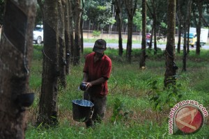 Petani terapkan tumpang sari selama peremajaan  karet
