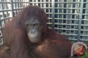 Puluhan orangutan dilepasliarkan ke hutan jantho