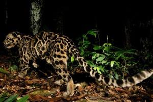 Seekor macan dahan diselamatkan saat terjepit pohon di Solok