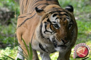 Harimau Sumatera berkeliaran resahkan warga Inhil