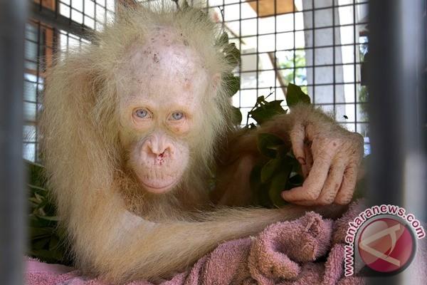 Kondisi Kesehatan orangutan Albino terus membaik