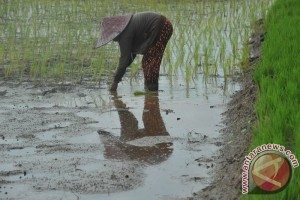 Lahan padi sawah 150 hektare siap tanam