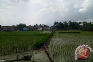 Luas panen padi di Sumsel berkurang 37 persen